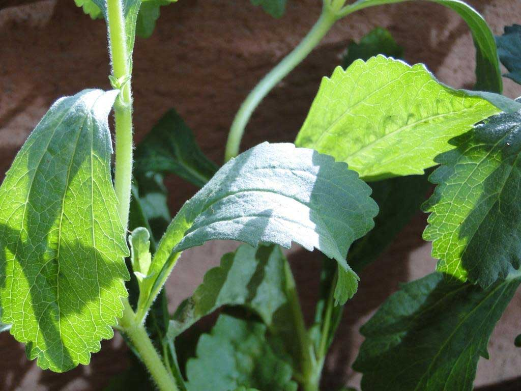 Todo lo que necesitas saber sobre la stevia, el