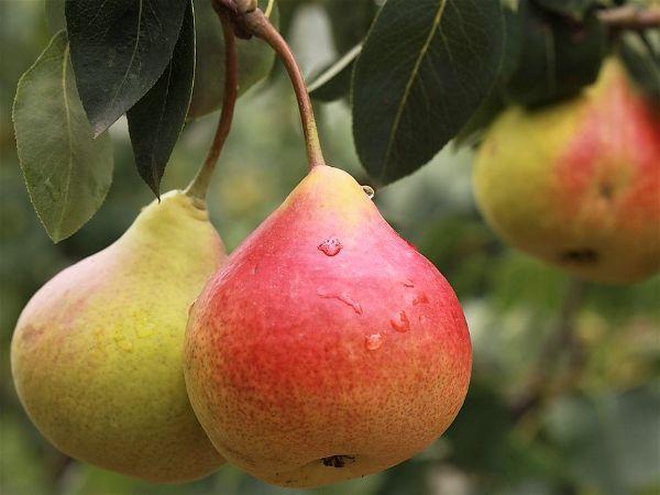 Mejores frutas diabeticos - Peras y diabetes
